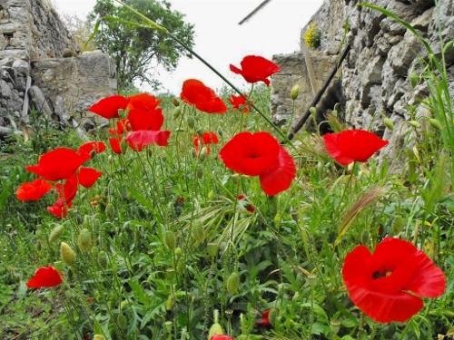 De Kythira Kriebel - wilde bloemen