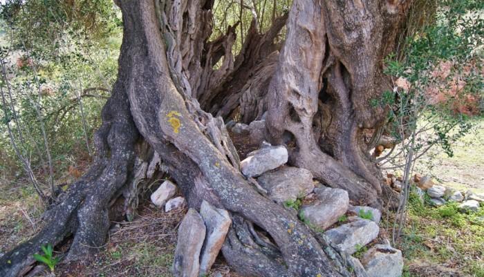 Oudste olijfboom van Kythira