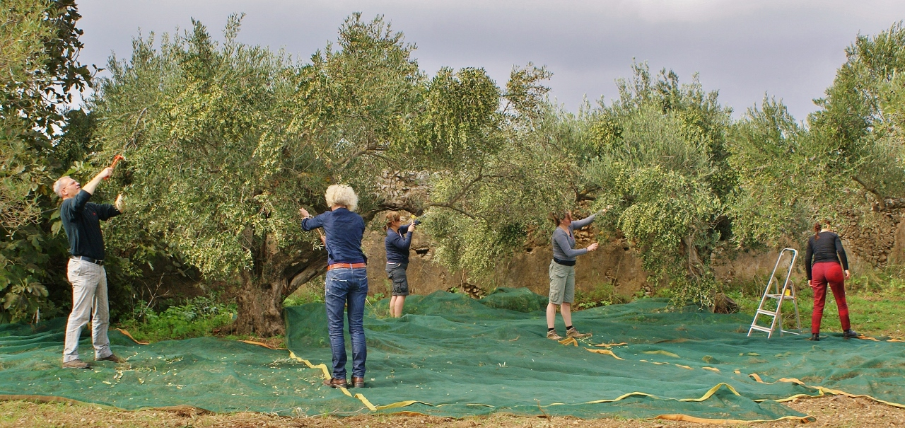 Olive picking on Kythera