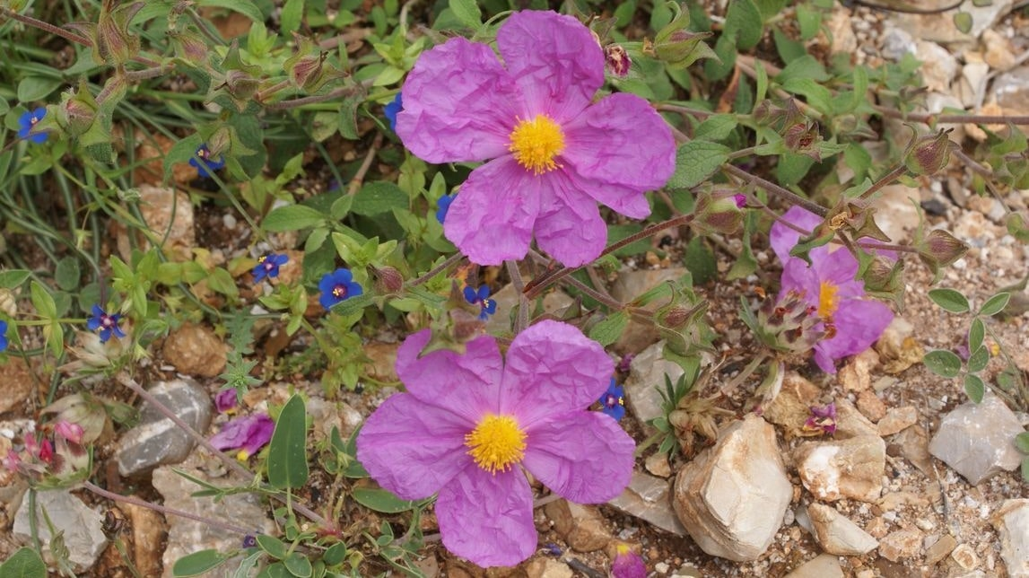Wild-flowers-of-Kythira-174-min.jpg